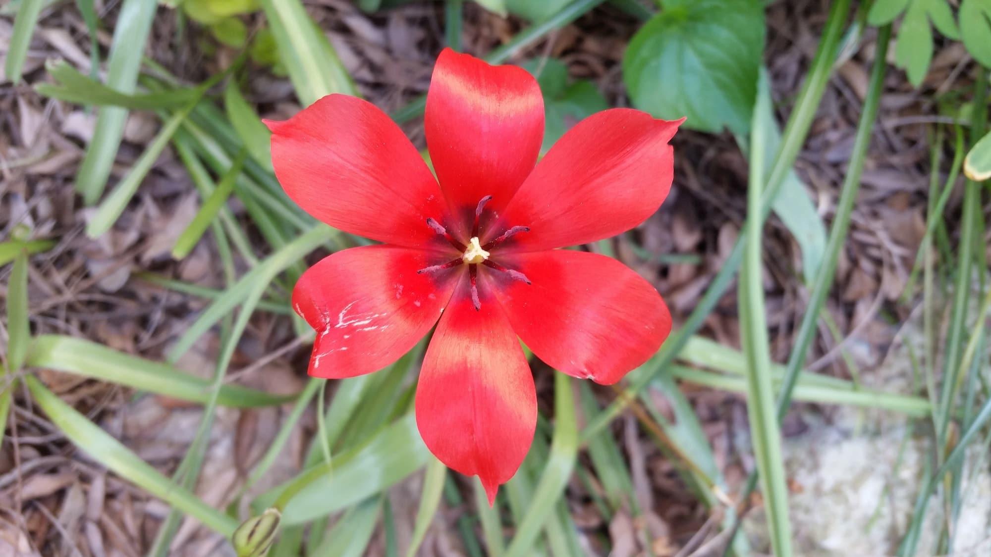red species tulip