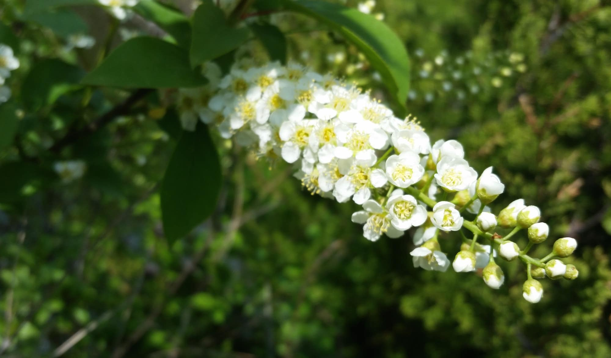 wild cherries with a raceme of white blossoms