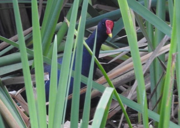 common moorhen (Gallinula chloropus) hiding behind reeds