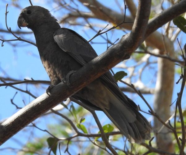 Lesser Vasa Parrot (Coracopsis nigra) perched on a tree branch
