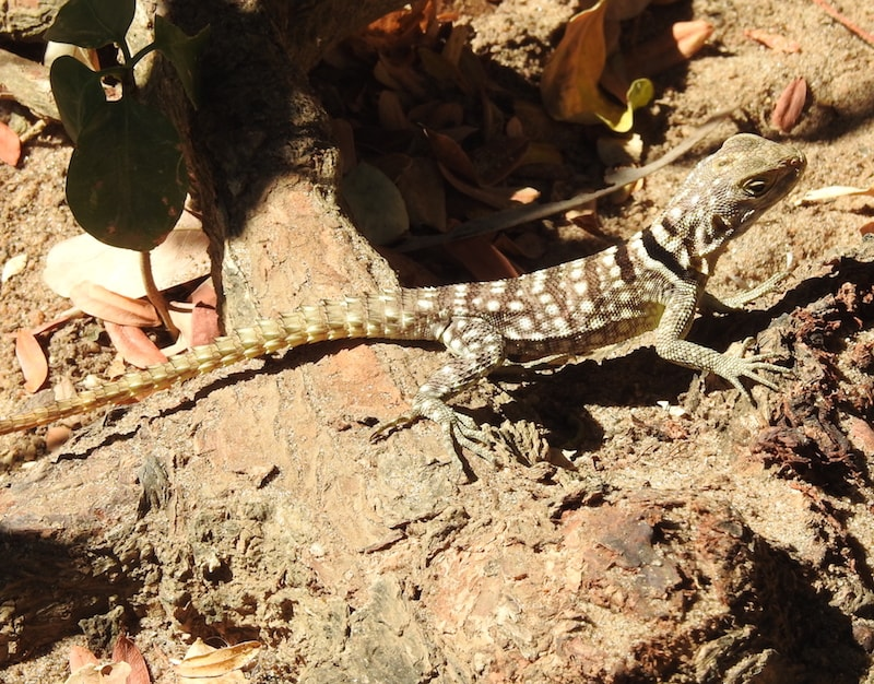 collared Lizard or Cuvier's Madagascar Swift (Oplurus cuvieri)