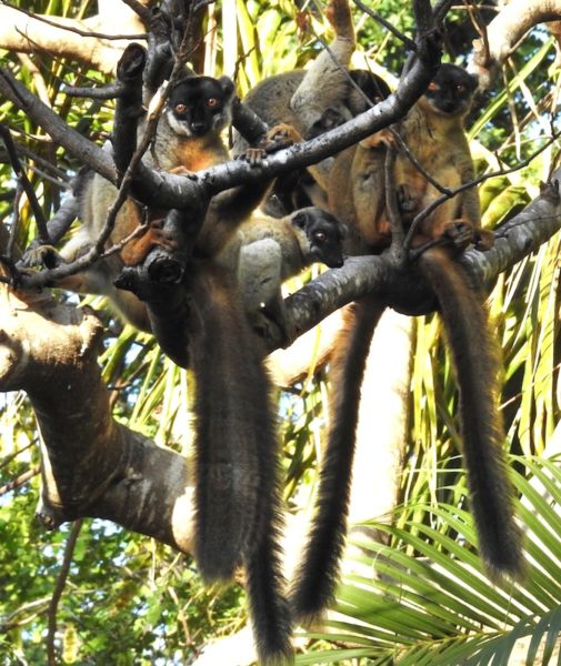Troop of Common Brown Lemurs (Eulemur fulvus) on a tree branch, with long tails hanging