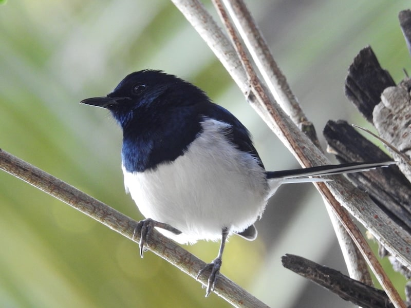 black and white male Madagascar Magpie-robin (Copsychus albospecularis) perches on a branch. Its head, beak, and wings are black, and its belly his white