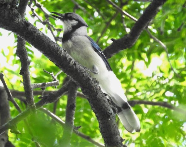 blue jay in tree