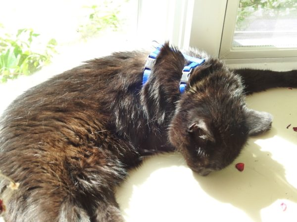 Lilo wearing a leash halter and sleeping in the sun