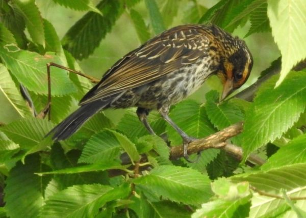 adult female redwinged blackbird, or possibly juvenile. The bird has a speckled brown appearance with hints of yellow on the edges of the feathers.