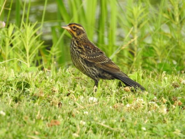juveneile or female redwinged blackbird