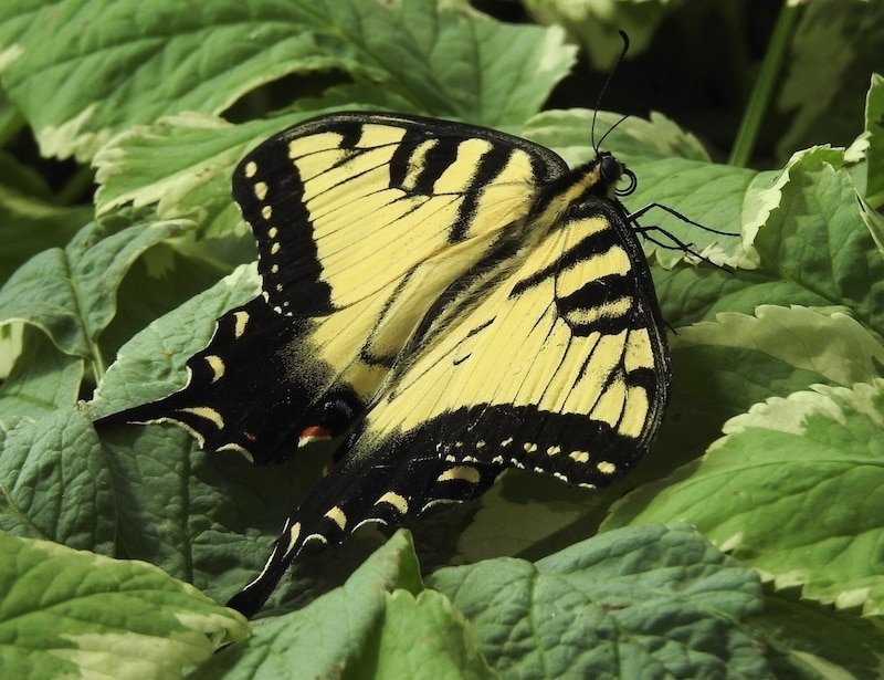 Insect of the Day: Male Eastern Tiger Swallowtail Butterfly (Papilio glaucus)