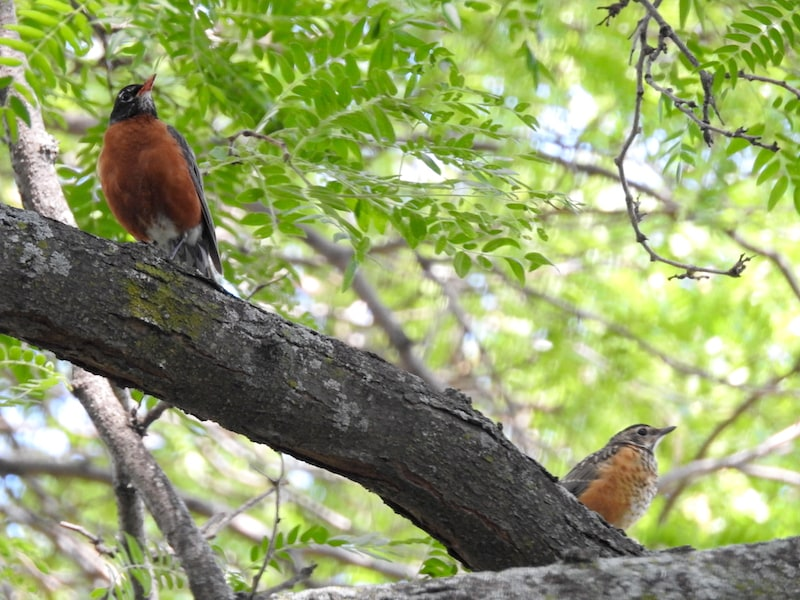 American robin parent and baby resting on a tree branch, a couple wingspans apart from each other
