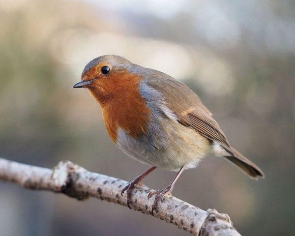 European robin (Erithacus_rubecula) with_cocked_head