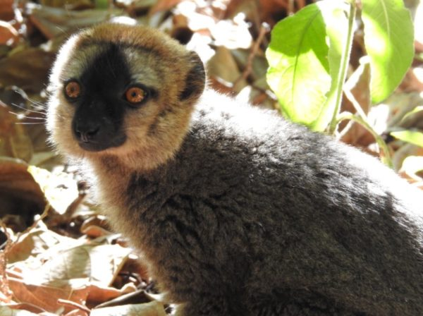 male red-fronted brown lemur has rusty-colored fur on forehead and a gray-brown body