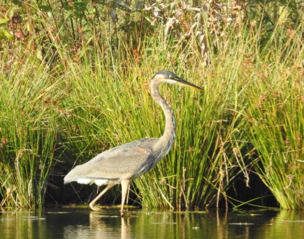 great blue heron on pond edge