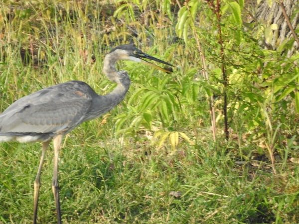 great blue heron on pond edge, dropping brown object from beak