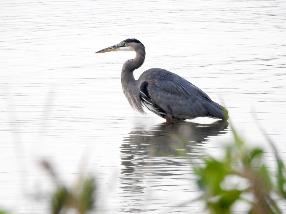 Great blue heron wading
