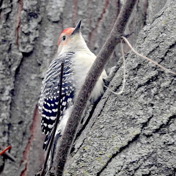 Red-bellied woodpecker (Melanerpes carolinus) on locust trunk
