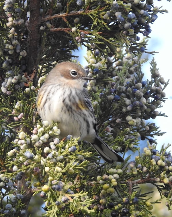 Yellow-rumped warbler in juniper tree