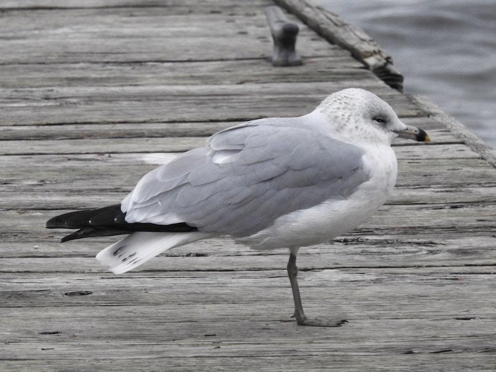 rign-billed gull (larus delawarensis)