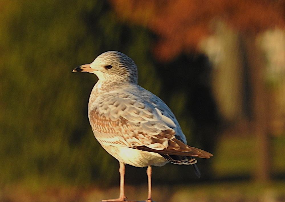 Juvenile ring-billed gull (Larus delawarensis)