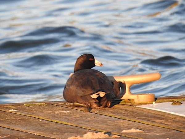 American coot sitting on boardwalk