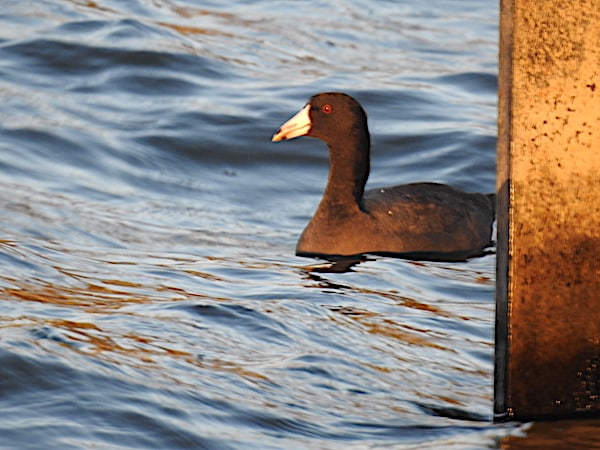 American coot swimming near boardwalk
