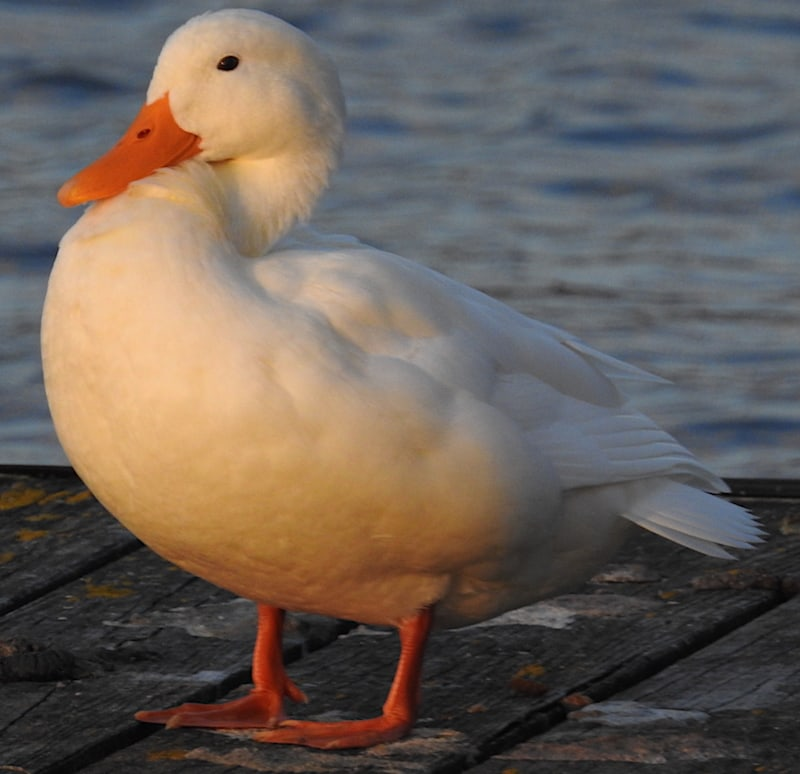 White duck with orange bill and feet standing on wooden dock