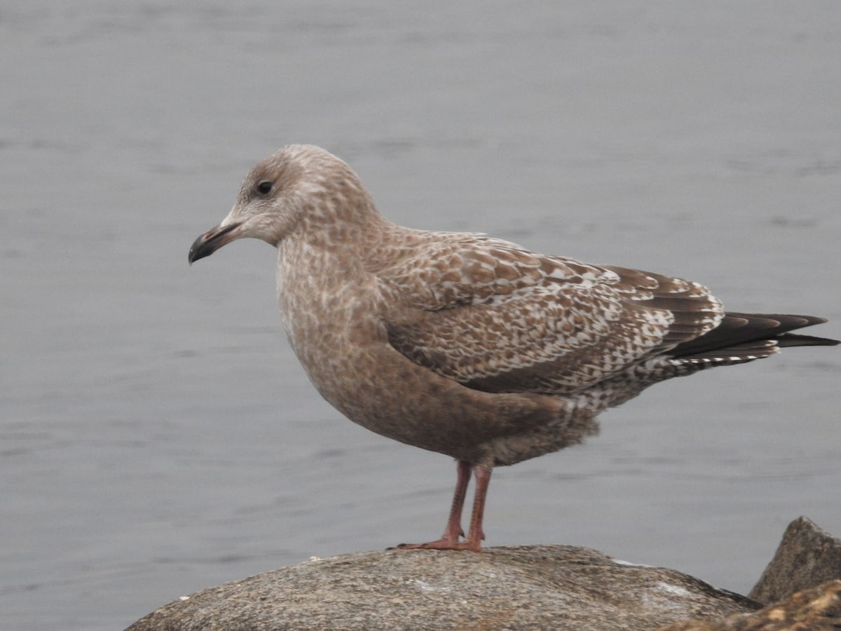 Young, First-year ring-billed gull with all-over brown mottled plumage standing on stone on lakeshore