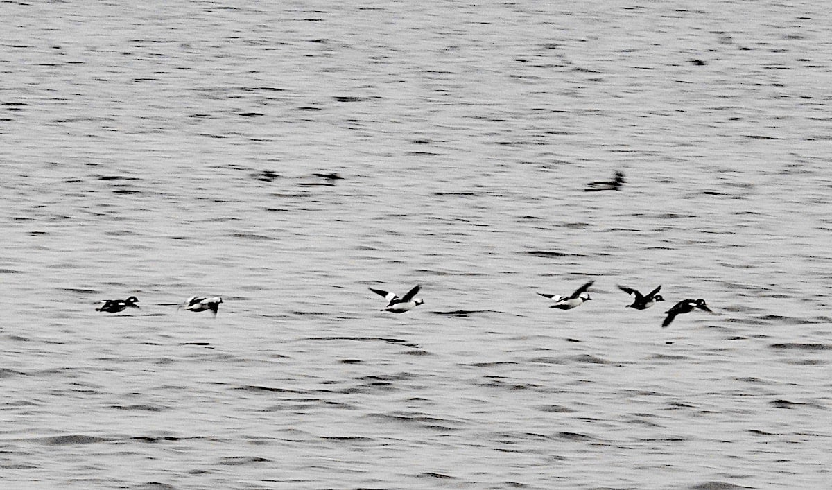 high contrast photo of buffleheads flying away over choppy lake water