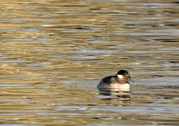 female bufflehead swimming on lake