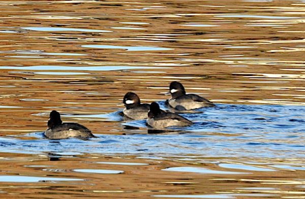 four female buffleheads swimming on lake