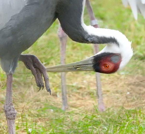 white-naped crane (Antigone vipio) preening feet