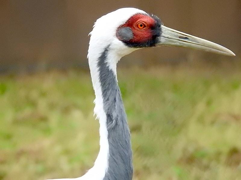 white-naped crane (Antigone vipio)