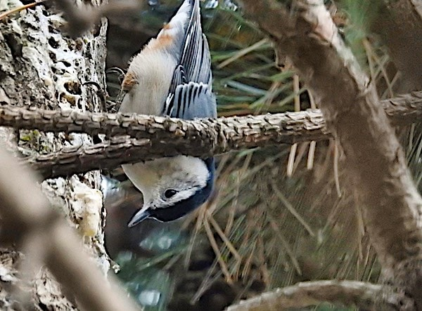 White-breasted nuthatch on pine trunk