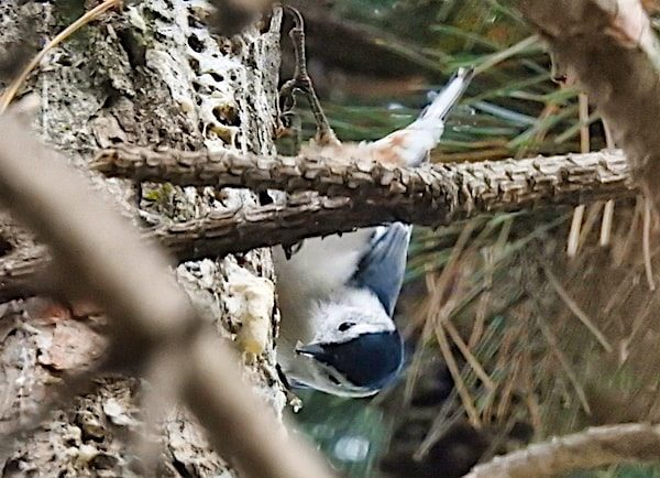 White-breasted nuthatch upside-down on pine trunk