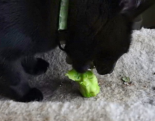 black cat eating broccoli