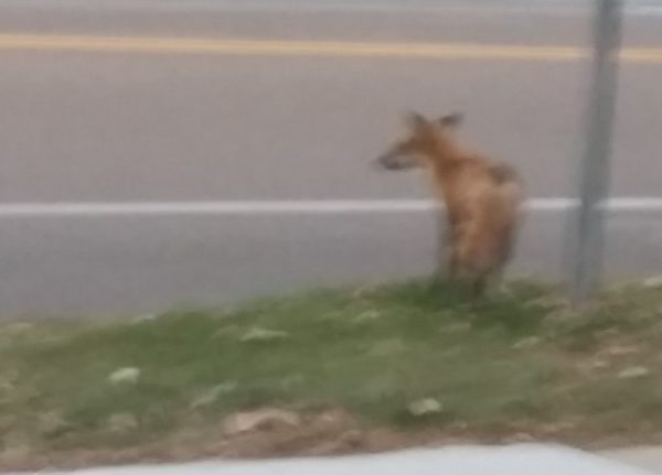 Red fox (vulpes vulpes) waiting to cross street in Madison, Wisconsin