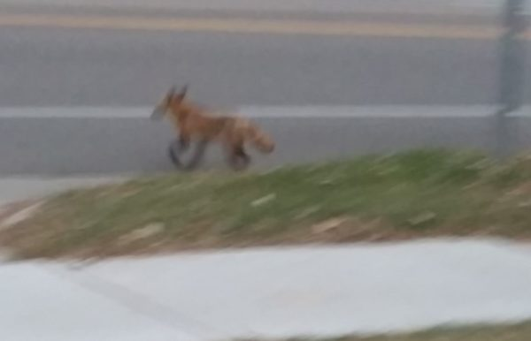 Red fox (vulpes vulpes) trying to cross street in Madison, Wisconsin