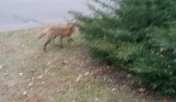 Red fox (vulpes vulpes) next to a juniper bush in Madison, Wisconsin