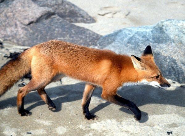 red fox (vulpus vulpus) walking down path