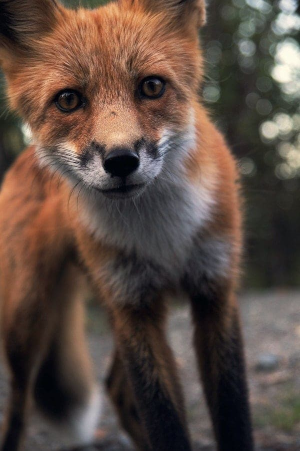 red fox (vulpus vulpus) looking at camera
