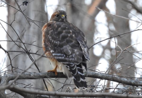 small Virginia hawk, probably red-shouldered hawk