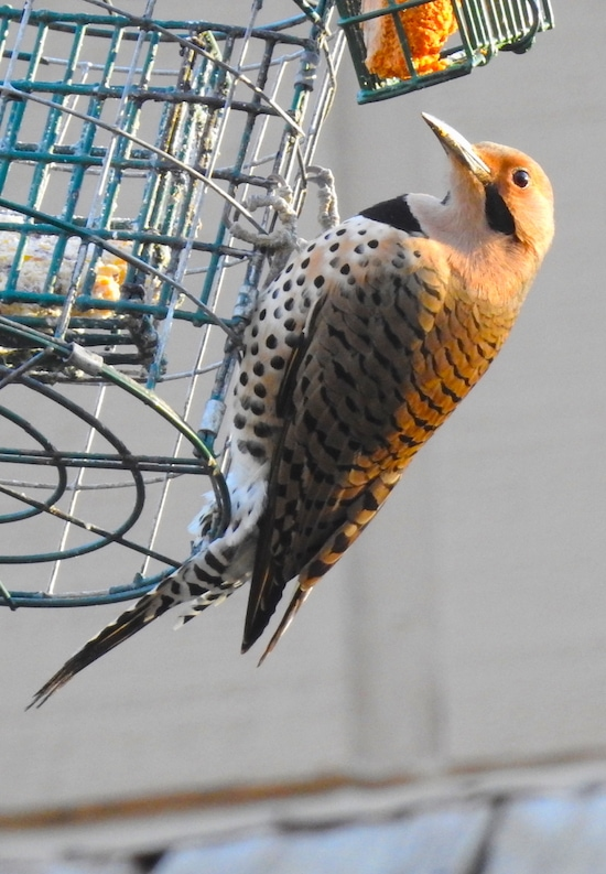 Northern Flicker (Colaptes auratus) at bird feeder in Reston Virginia