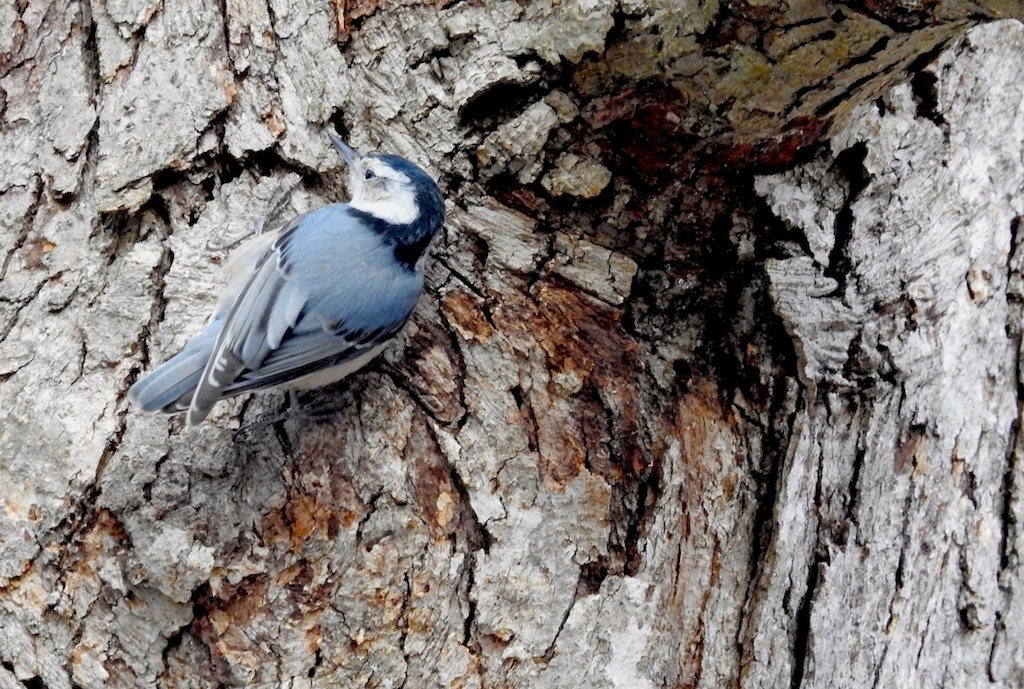 blue-gray White-breasted Nuthatch (Sitta carolinensis) on a tree trunk in reston Virginia