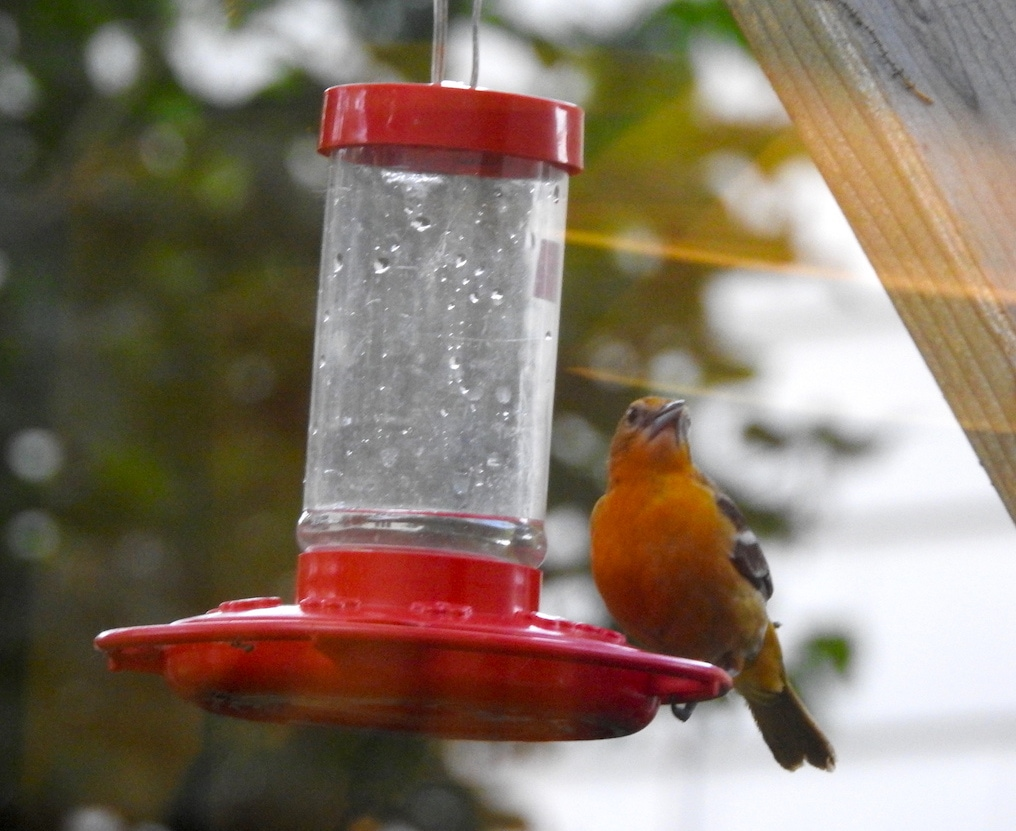 baltimore oriole at hummingbird feeder