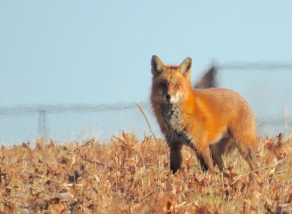 fox standing in oak leaf litter on open field in front of wire fence