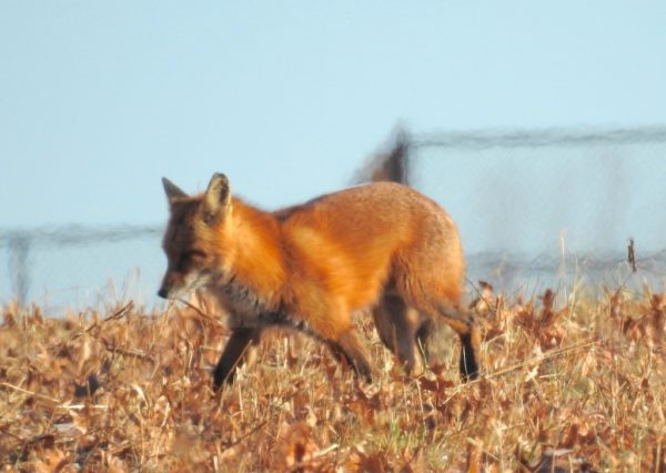 fox walking in oak leaf litter on open field in front of wire fence