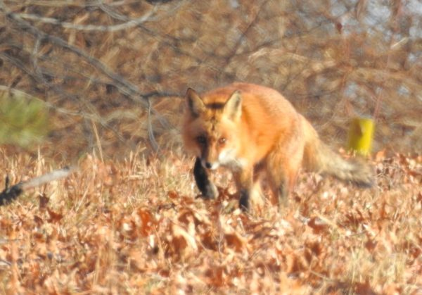 fox walking in oak leaf litter at edge of woods