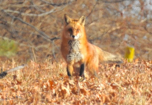 fox stopping in oak leaf litter at edge of woods