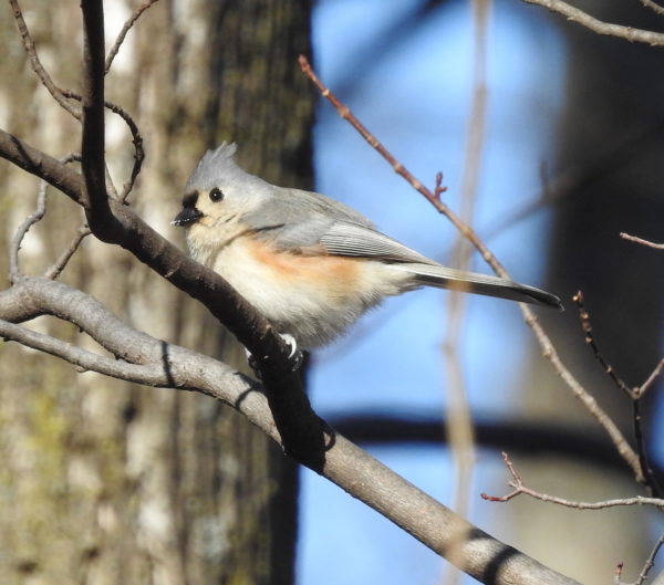 tufted titmouse rests on a branch in reston virginia