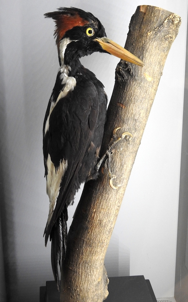 taxidermied male ivory-billed woodpecker (Campephilus principalis)