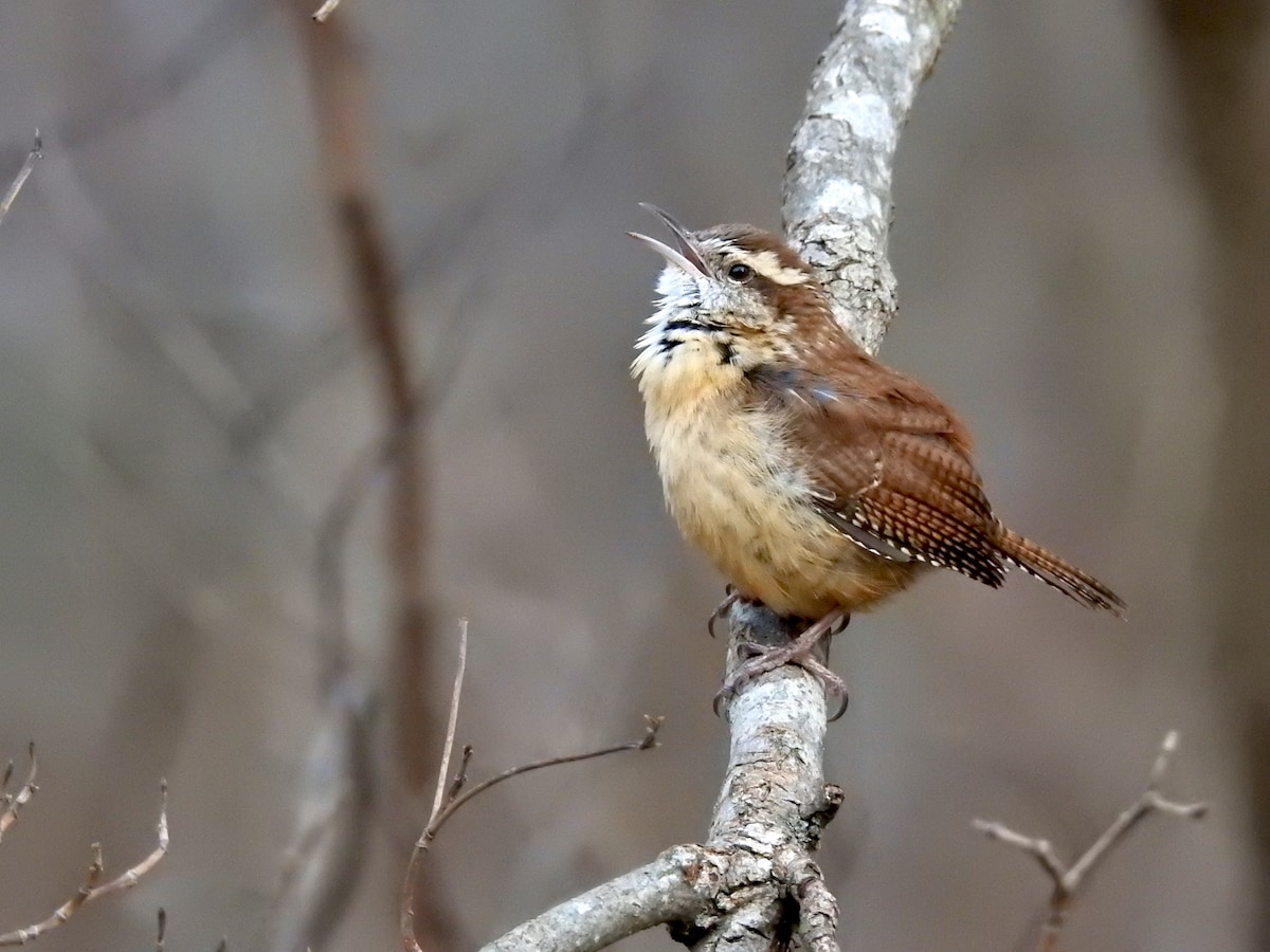 carolina wren on tree branch in reston virginia singing